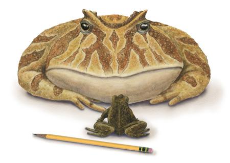 Frog Beelzebufo Ampigna Size